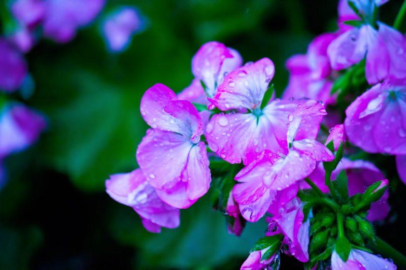 紫いろの花